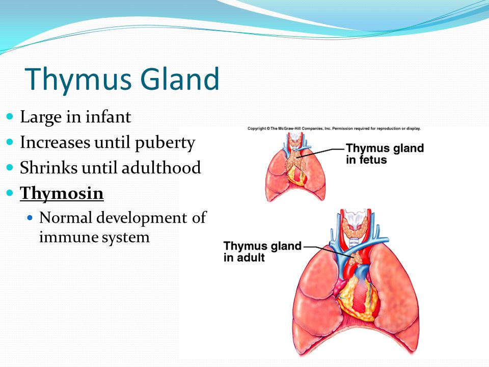 Thymus Gland Large in infant Increases until puberty Shrinks until adulthood Thymosin Normal development of immune system