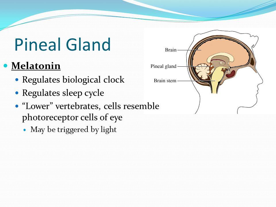 "Pineal Gland Melatonin Regulates biological clock Regulates sleep cycle ""Lower"" vertebrates, cells resemble photoreceptor cells of eye May be triggere"