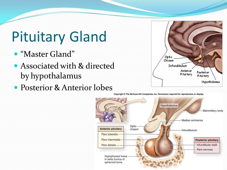 """Pituitary Gland """"Master Gland"""" Associated with & directed by hypothalamus Posterior & Anterior lobes"""