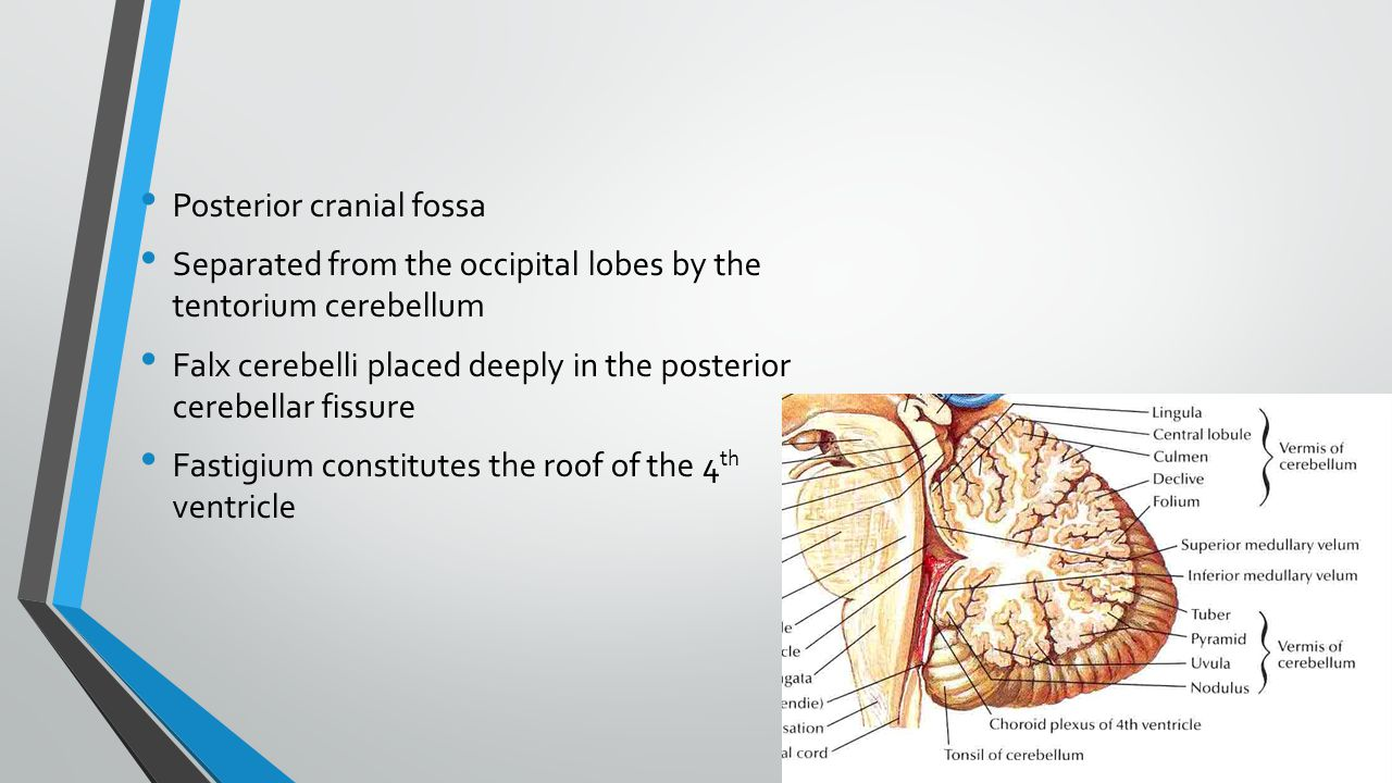 Posterior cranial fossa Separated from the occipital lobes by the tentorium cerebellum Falx cerebelli placed deeply in the posterior cerebellar fissure Fastigium constitutes the roof of the 4 th ventricle
