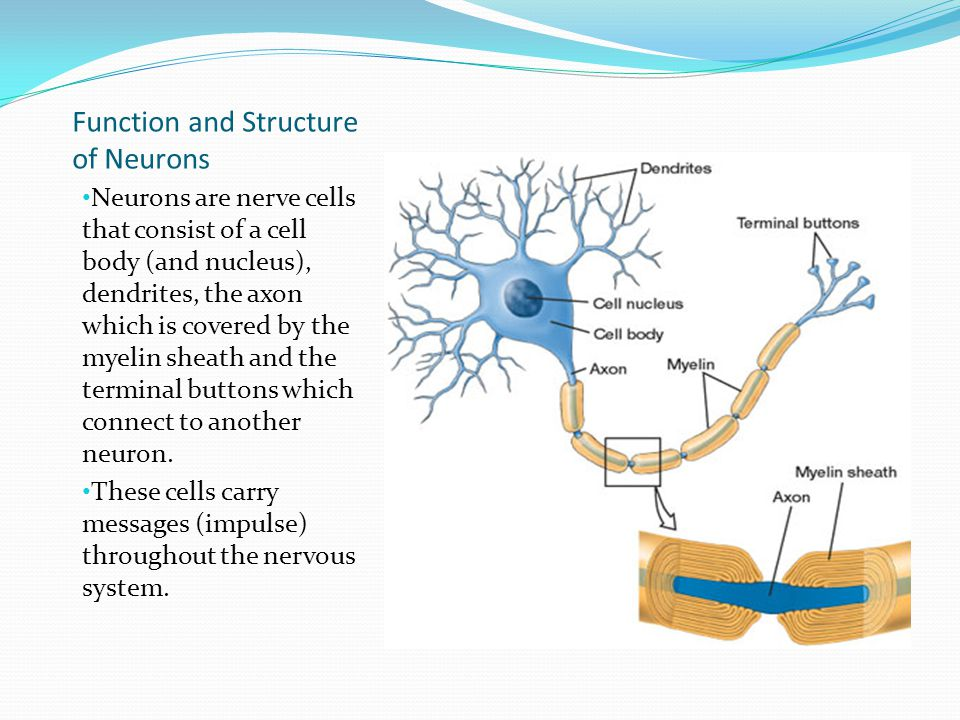 Function and Structure of Neurons Neurons are nerve cells that consist of a cell body (and nucleus), dendrites, the axon which is covered by the myelin sheath and the terminal buttons which connect to another neuron.