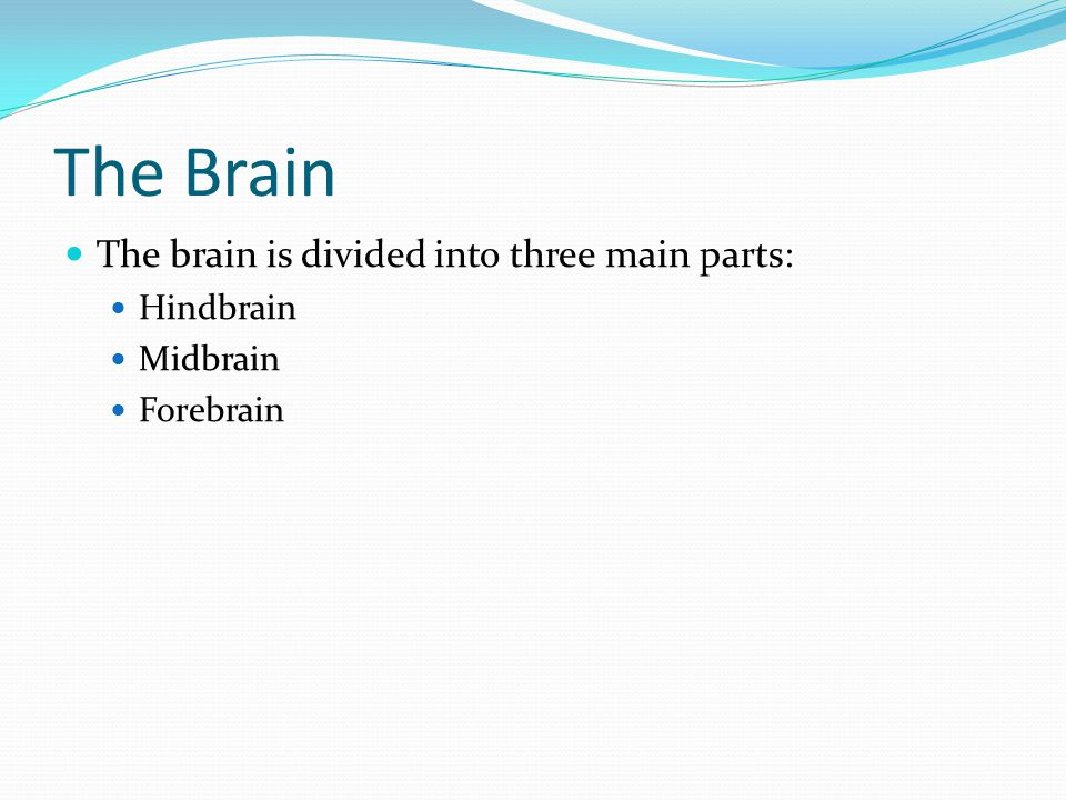 The Brain The brain is divided into three main parts: Hindbrain Midbrain Forebrain