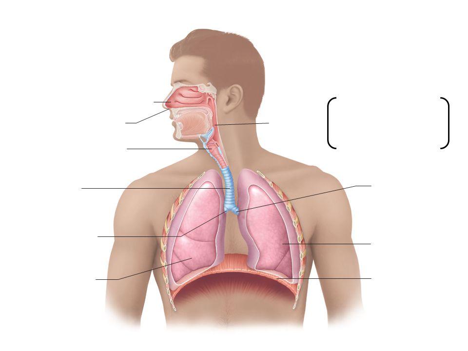 Nasal cavity Nostril Pharynx Larynx Trachea Left main (primary) bronchus Right main (primary) bronchus Right lung Left lung Diaphragm Nasopharynx Oropharynx Laryngopharynx