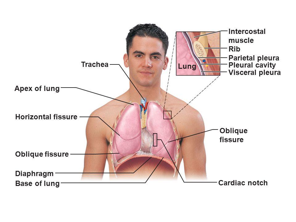 Trachea Apex of lung Horizontal fissure Oblique fissure Diaphragm Base of lung Cardiac notch Oblique fissure Lung Pleural cavity Parietal pleura Rib I