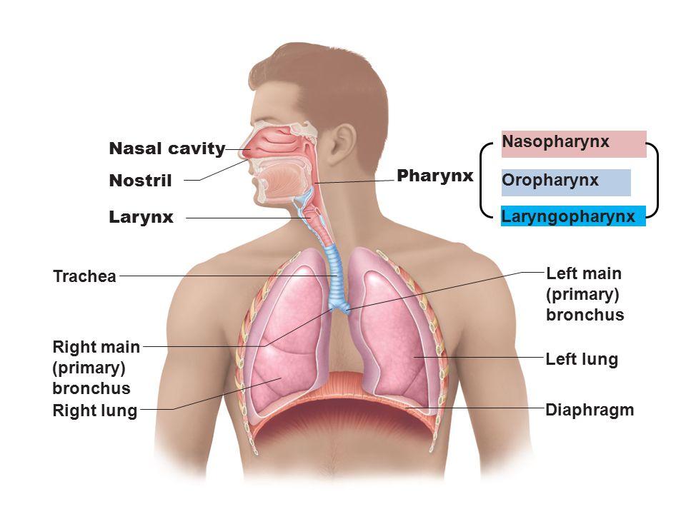 Nasal cavity Nostril Pharynx Larynx Trachea Left main (primary) bronchus Right main (primary) bronchus Right lung Left lung Diaphragm Nasopharynx Orop