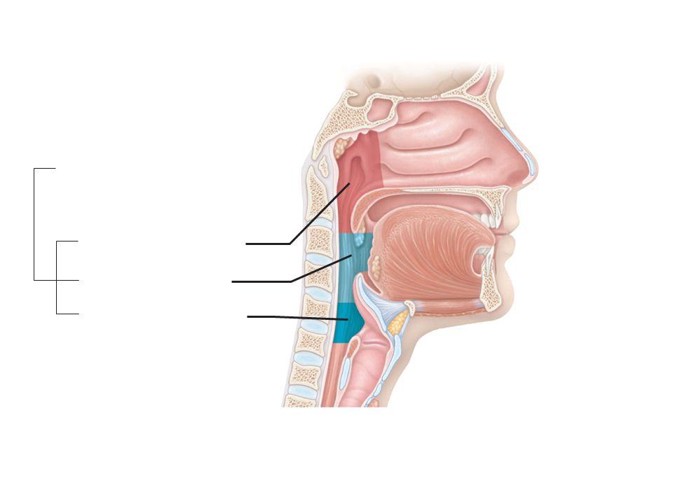 Trachea Superior lobe of right lung Middle lobe of right lung Inferior lobe of right lung Superior lobe of left lung Left main (primary) bronchus Lobar (secondary) bronchus Segmental (tertiary) bronchus Inferior lobe of left lung