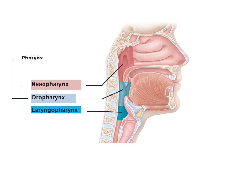 Nasopharynx Oropharynx Laryngopharynx Pharynx
