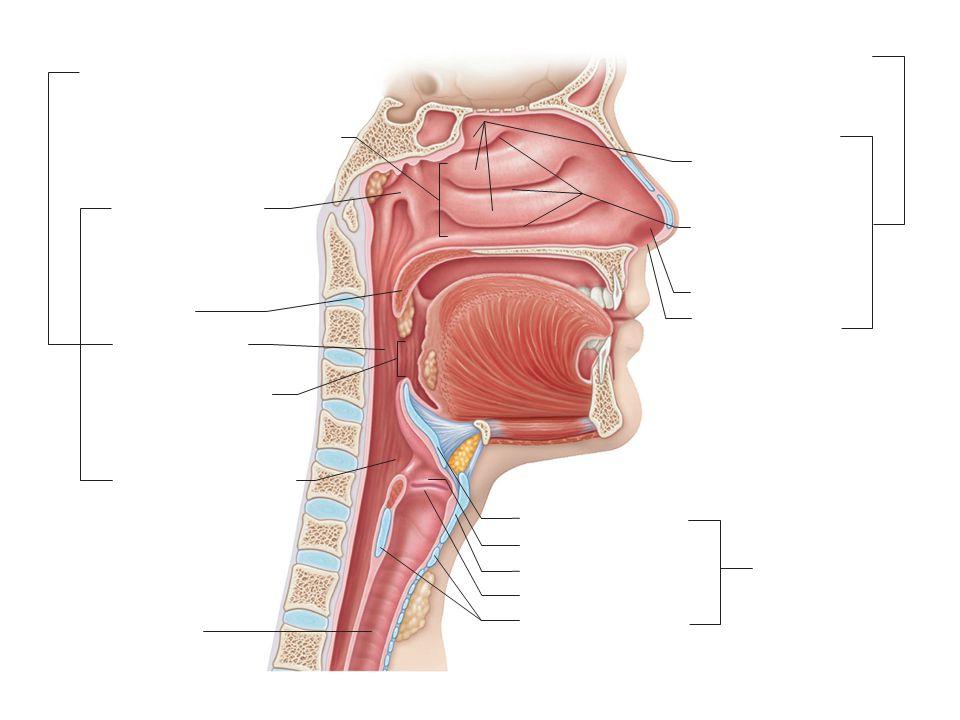 Nasal meatuses (superior, middle, and inferior) Nasopharynx Uvula Isthmus of the fauces Posterior nasal aperture Oropharynx Laryngopharynx Vocal fold Nasal conchae (superior, middle and inferior) Nasal vestibule Nostril Nasal cavity Epiglottis Larynx Thyroid cartilage Vestibular fold Cricoid cartilage Trachea Pharynx