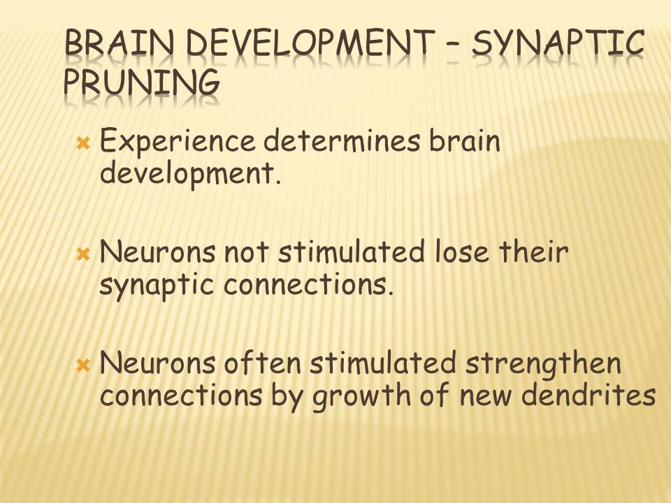  Experience determines brain development.