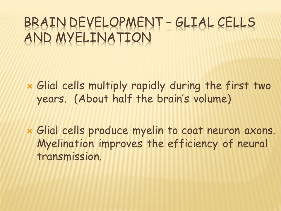  Glial cells multiply rapidly during the first two years.