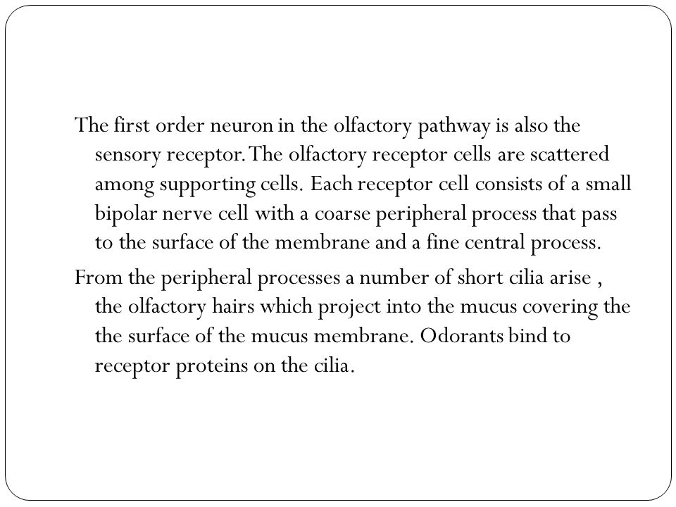 The first order neuron in the olfactory pathway is also the sensory receptor. The olfactory receptor cells are scattered among supporting cells. Each