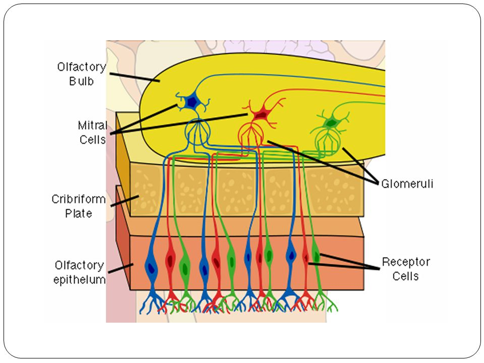 Olfactory tract The relay from the mitral cells constitute the olfactory tract.