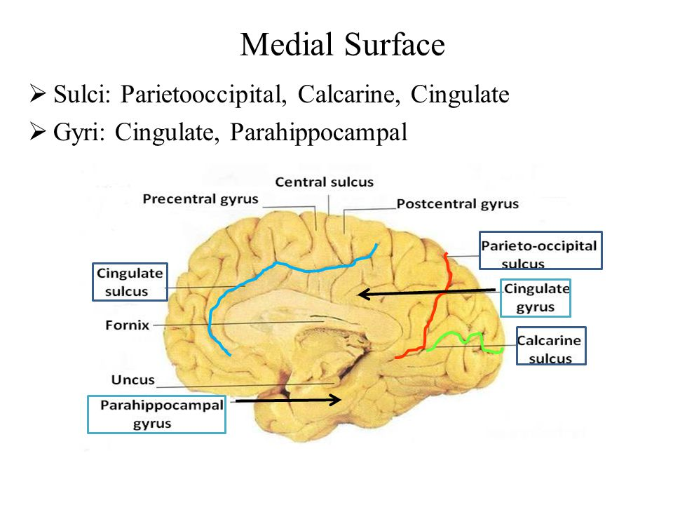 Medial Surface  Sulci: Parietooccipital, Calcarine, Cingulate  Gyri: Cingulate, Parahippocampal
