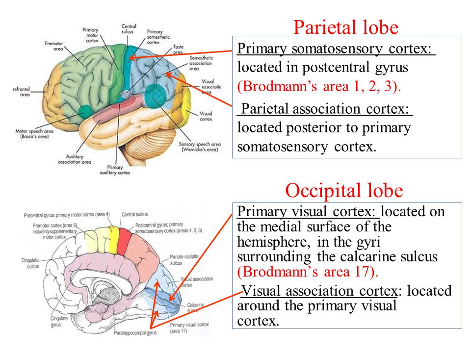 Parietal lobe Primary somatosensory cortex: located in postcentral gyrus (Brodmann's area 1, 2, 3).