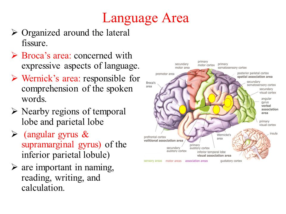 Language Area  Organized around the lateral fissure.