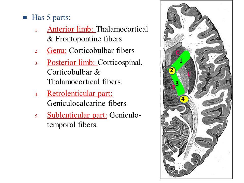 C T L 1 2 3 4 Has 5 parts: 1. Anterior limb: Thalamocortical & Frontopontine fibers 2. Genu: Corticobulbar fibers 3. Posterior limb: Corticospinal, Co