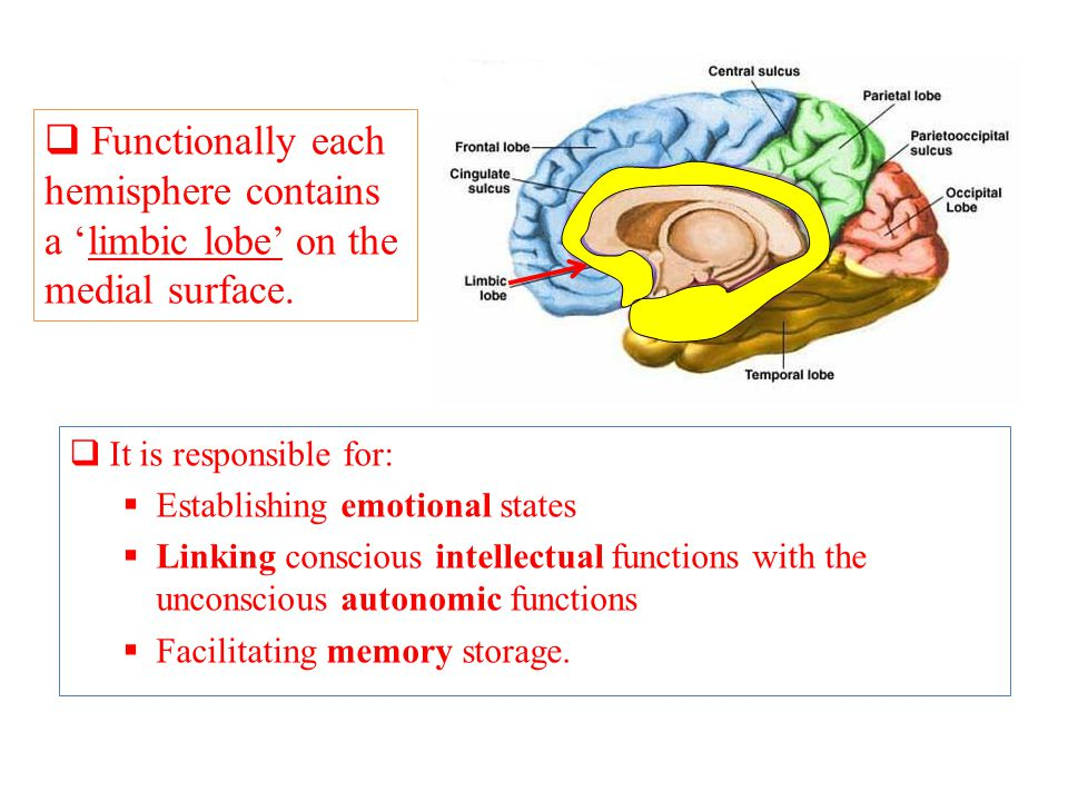  It is responsible for:  Establishing emotional states  Linking conscious intellectual functions with the unconscious autonomic functions  Facilitating memory storage.