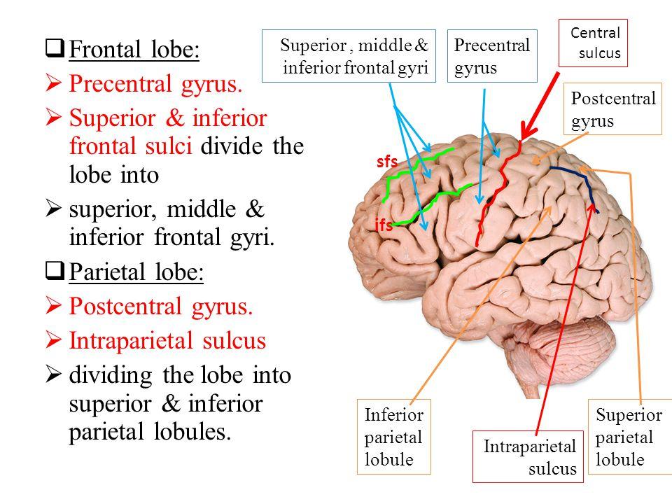  Frontal lobe:  Precentral gyrus.  Superior & inferior frontal sulci divide the lobe into  superior, middle & inferior frontal gyri.  Parietal lo