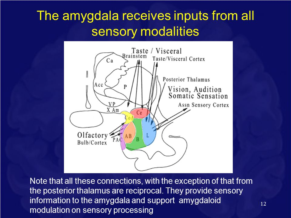 The amygdala receives inputs from all sensory modalities 12 Note that all these connections, with the exception of that from the posterior thalamus are reciprocal.