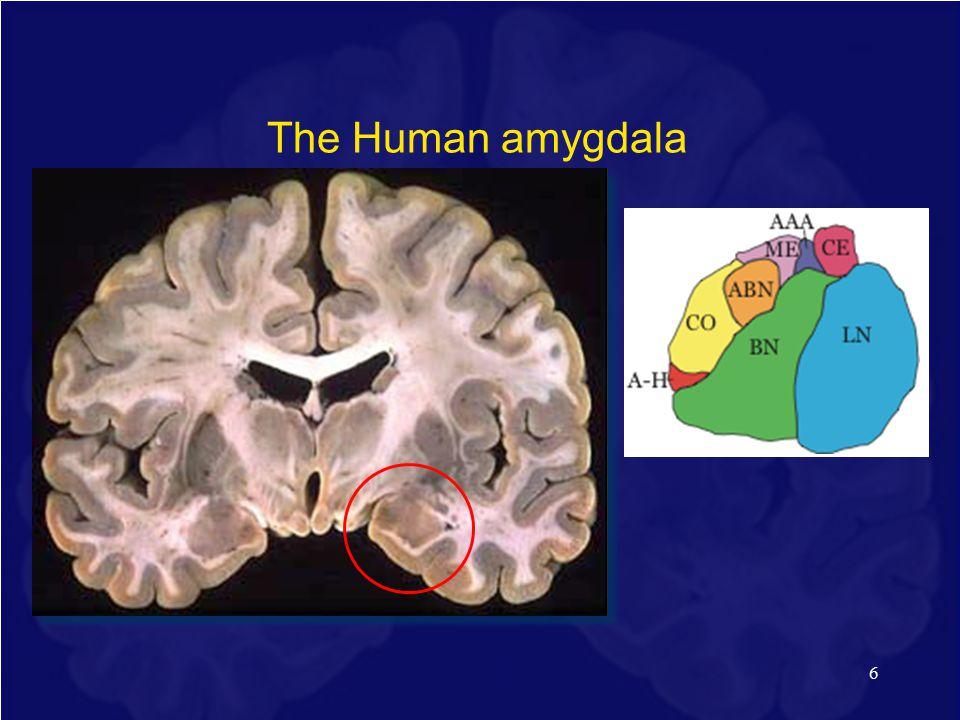 6 The Human amygdala