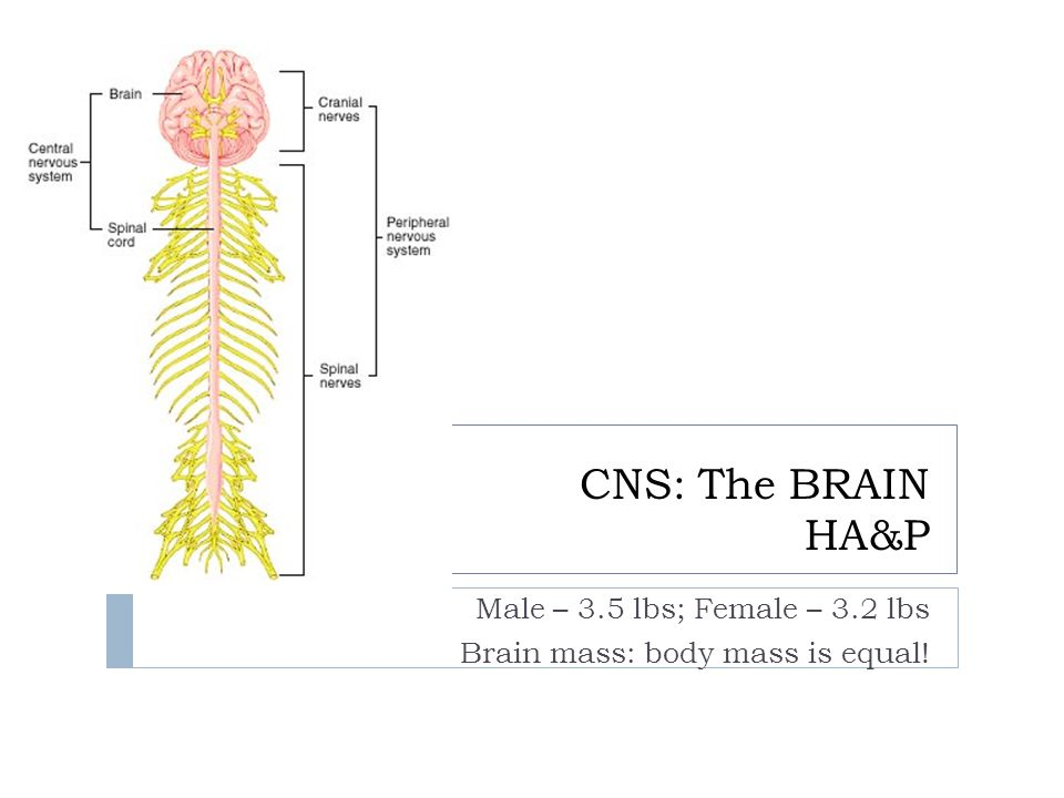 CNS: The BRAIN HA&P Male – 3.5 lbs; Female – 3.2 lbs Brain mass: body mass is equal!