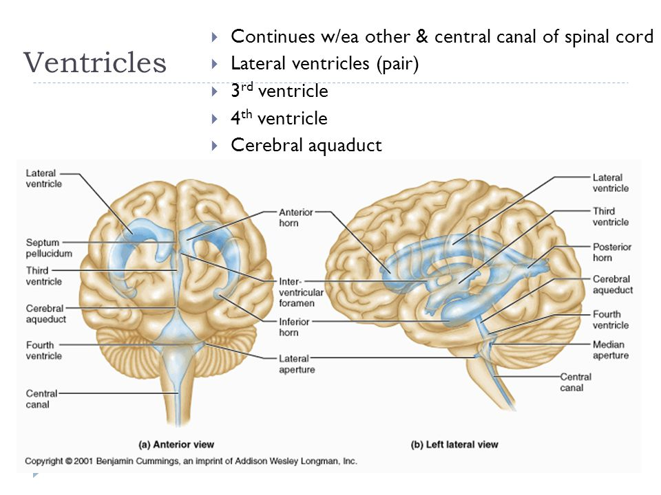 Ventricles  Continues w/ea other & central canal of spinal cord  Lateral ventricles (pair)  3 rd ventricle  4 th ventricle  Cerebral aquaduct