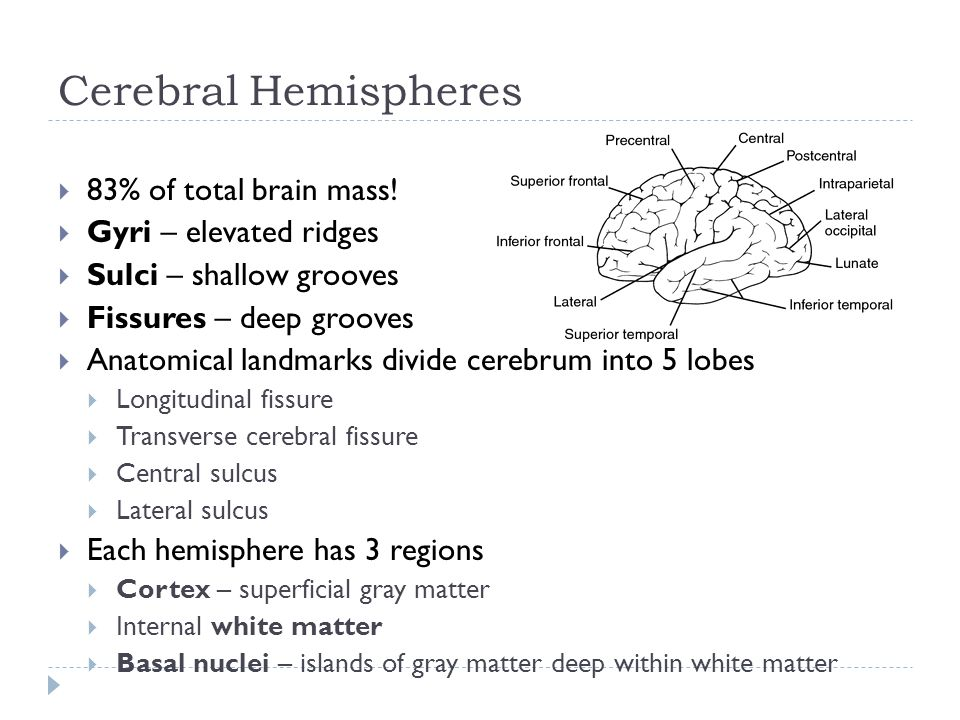 Cerebral Hemispheres  83% of total brain mass.