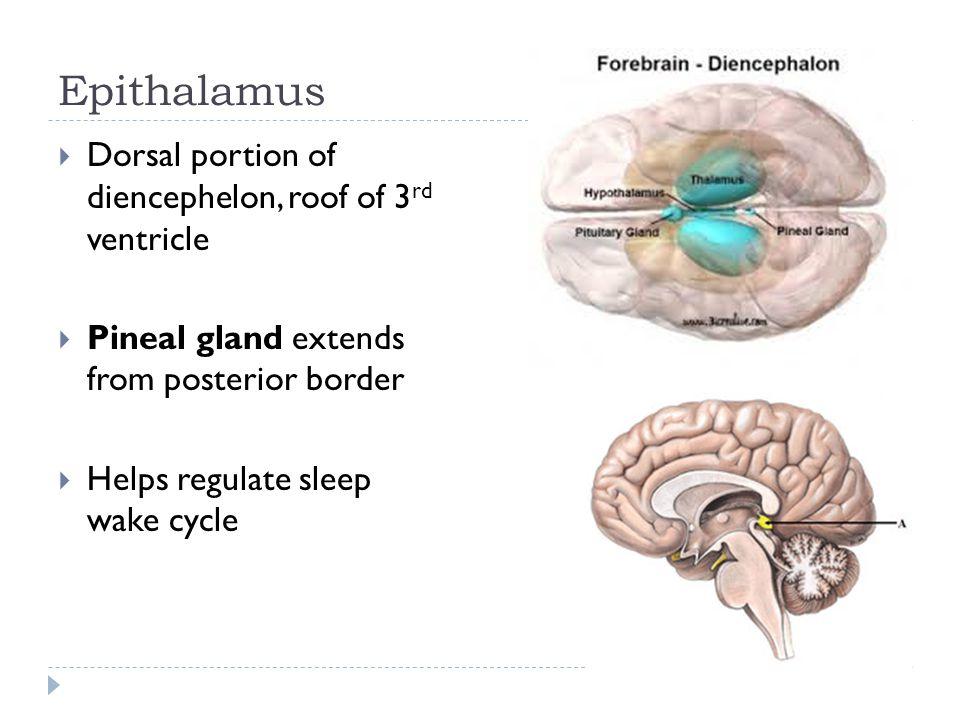 Epithalamus  Dorsal portion of diencephelon, roof of 3 rd ventricle  Pineal gland extends from posterior border  Helps regulate sleep wake cycle