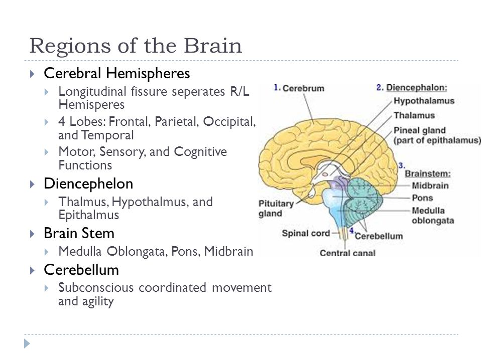 Homeostatic Roles of Hypothalamus  ANS  Influences hr, bp, pupils, etc  Emotional response (limbic system)  Perception of pleasure, fear, rage, and sex drive  Body Temperature regulation  Monitors & initiates sweating or shivering  Regulation of food intake  response to changes in blood glucose/a.a., hormones  Regulation of water balance and thirst  Response to concentrations of bodily fluids  Regulation of sleep wake cycles  In response to light (visual) cues  Endocrine system functioning  Controls secretions of pituitary gland  Produces hormones ADH and oxytocin
