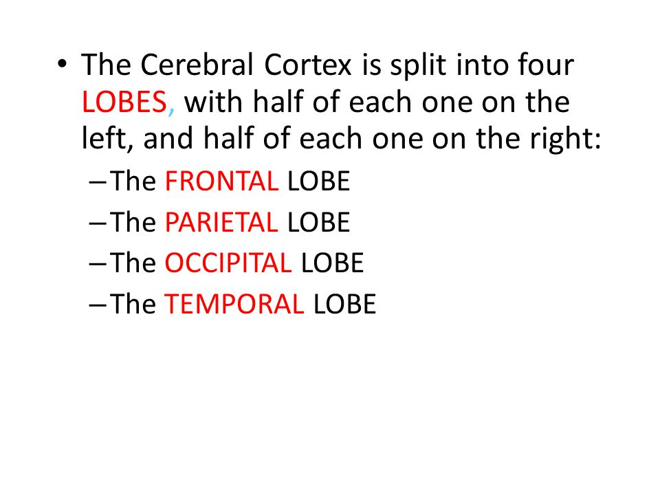 The Cerebral Cortex is split into four LOBES, with half of each one on the left, and half of each one on the right: – The FRONTAL LOBE – The PARIETAL LOBE – The OCCIPITAL LOBE – The TEMPORAL LOBE