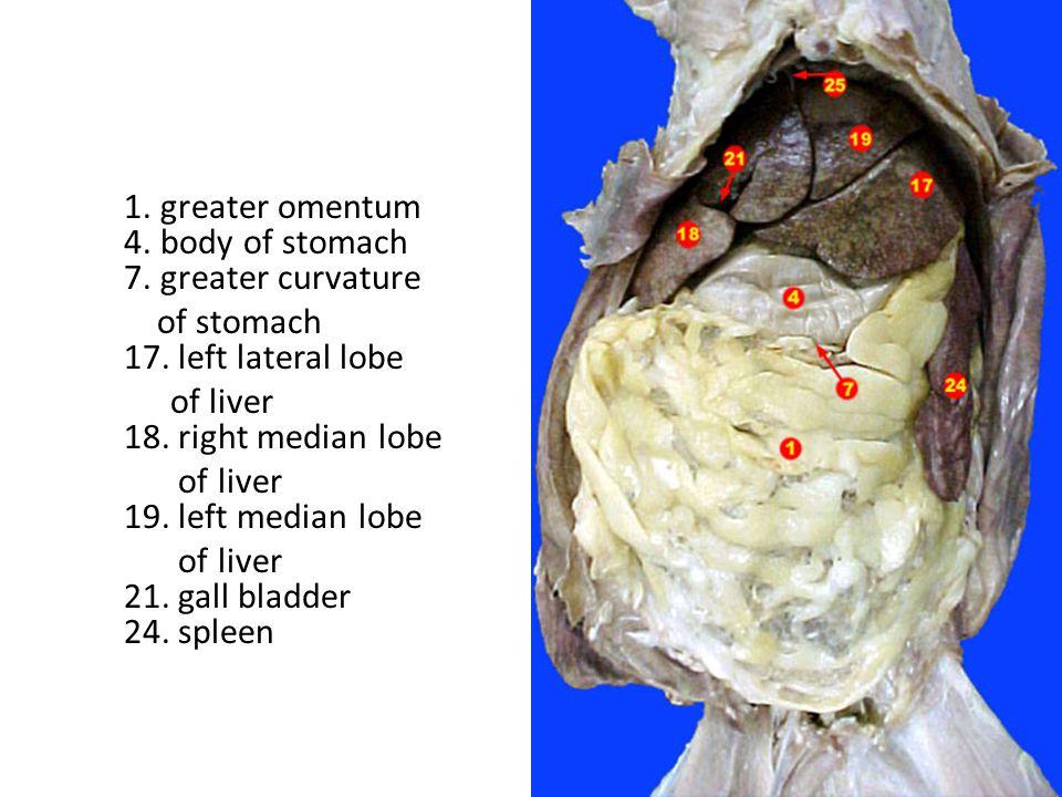 1.Diaphragm 4.Left Lateral Lobe of Liver 5. Left Medial Lobe of Liver 6.