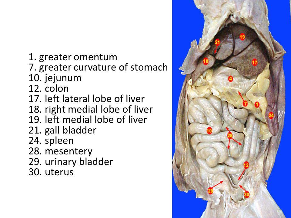 1.Cardiac Stomach 2. Fundic Stomach 3. Stomach Body 4.
