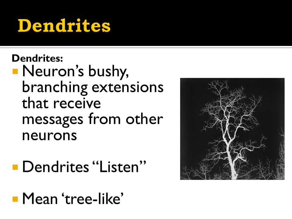 Dendrites:  Neuron's bushy, branching extensions that receive messages from other neurons  Dendrites Listen  Mean 'tree-like'