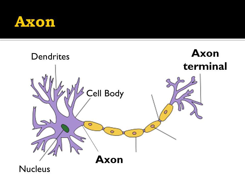 Dendrites Axon Axon terminal Cell Body Nucleus