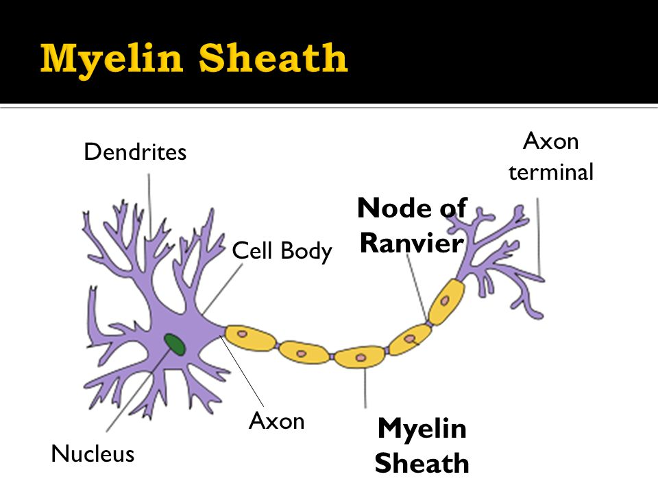 Dendrites Axon Axon terminal Cell Body Nucleus Myelin Sheath Node of Ranvier