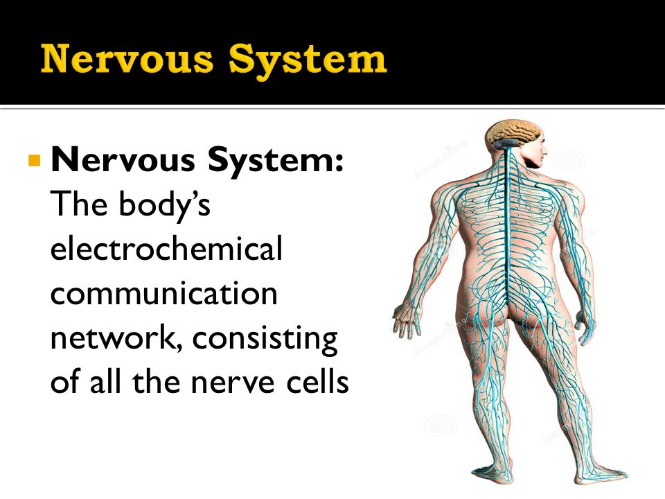  Nervous System: The body's electrochemical communication network, consisting of all the nerve cells