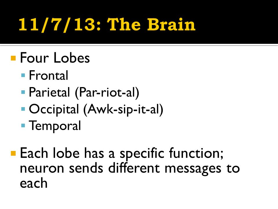  Four Lobes  Frontal  Parietal (Par-riot-al)  Occipital (Awk-sip-it-al)  Temporal  Each lobe has a specific function; neuron sends different messages to each
