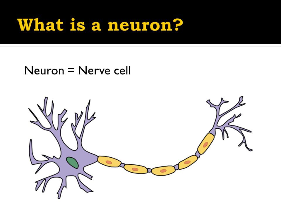  Neuron = nerve cell  Job: To send information throughout the Nervous System