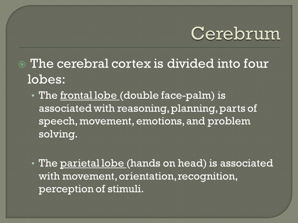  The cerebral cortex is divided into four lobes: The frontal lobe (double face-palm) is associated with reasoning, planning, parts of speech, movement, emotions, and problem solving.