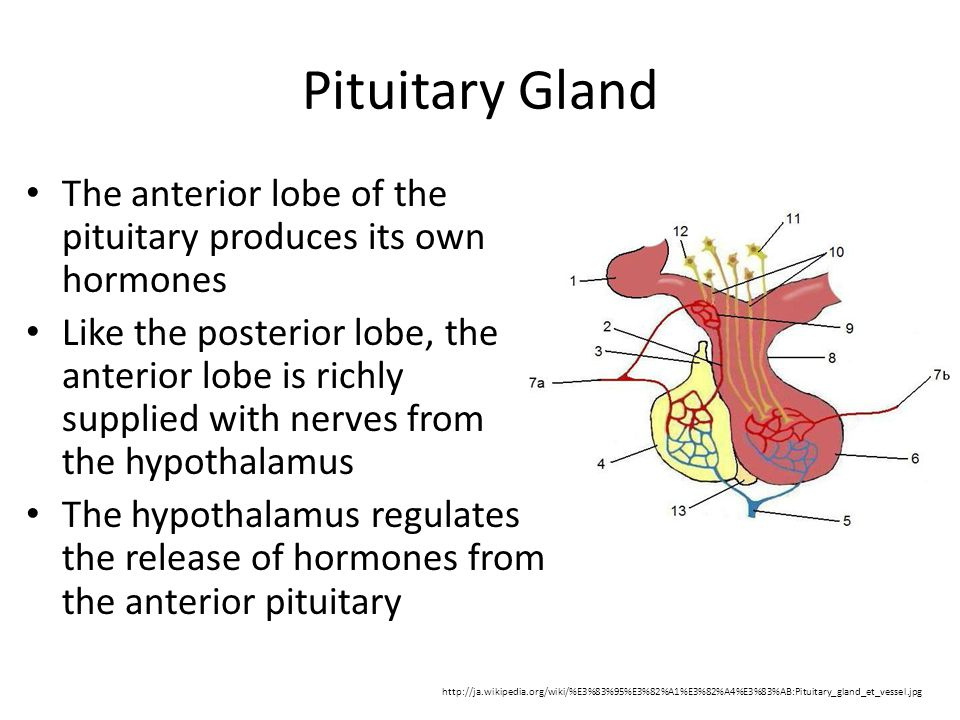 Pituitary Gland The anterior lobe of the pituitary produces its own hormones Like the posterior lobe, the anterior lobe is richly supplied with nerves from the hypothalamus The hypothalamus regulates the release of hormones from the anterior pituitary http://ja.wikipedia.org/wiki/%E3%83%95%E3%82%A1%E3%82%A4%E3%83%AB:Pituitary_gland_et_vessel.jpg