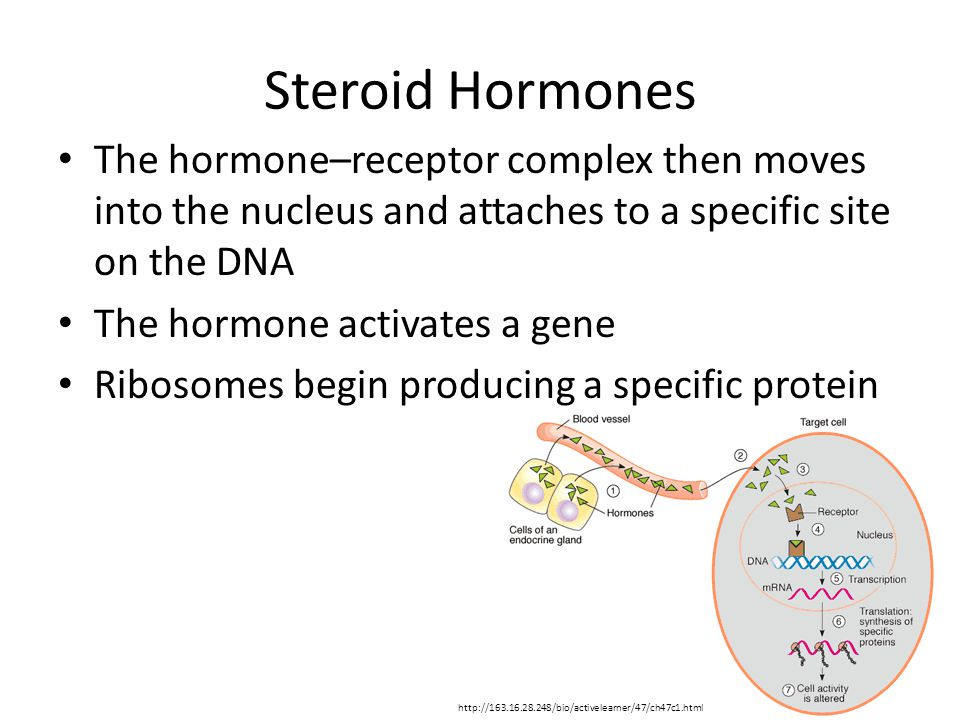Steroid Hormones The hormone–receptor complex then moves into the nucleus and attaches to a specific site on the DNA The hormone activates a gene Ribosomes begin producing a specific protein http://163.16.28.248/bio/activelearner/47/ch47c1.html