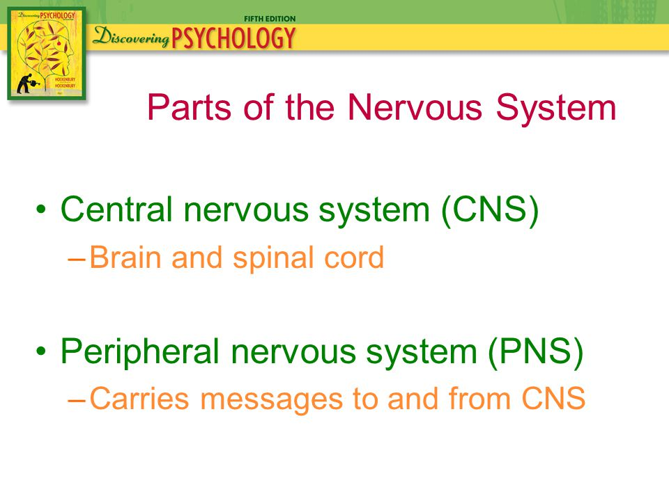 Central nervous system (CNS) –Brain and spinal cord Peripheral nervous system (PNS) –Carries messages to and from CNS Parts of the Nervous System