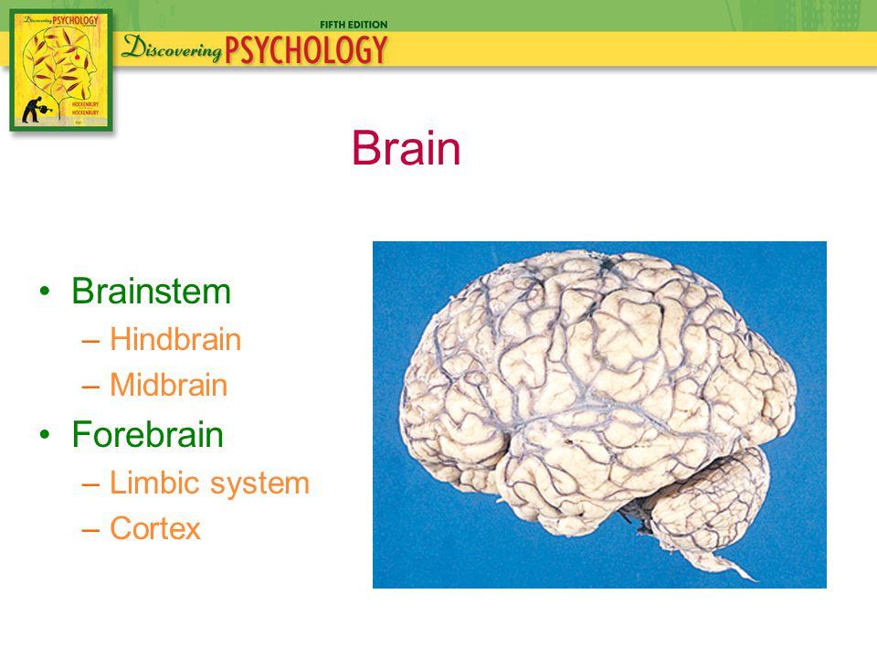 Brainstem –Hindbrain –Midbrain Forebrain –Limbic system –Cortex Brain