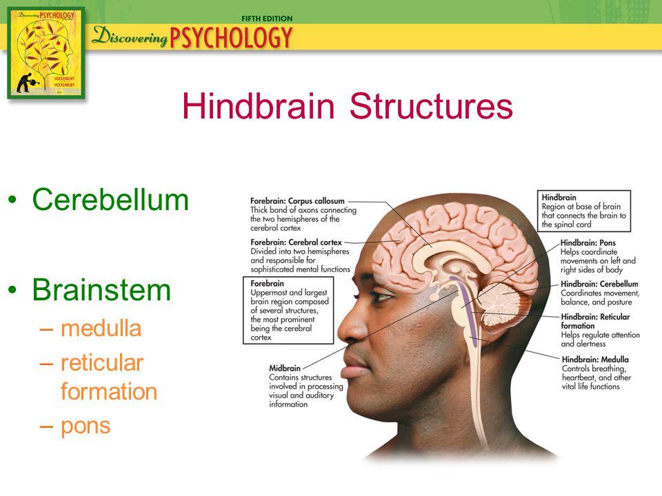 Cerebellum Brainstem –medulla –reticular formation –pons Hindbrain Structures