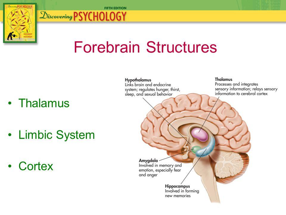 Thalamus Limbic System Cortex Forebrain Structures