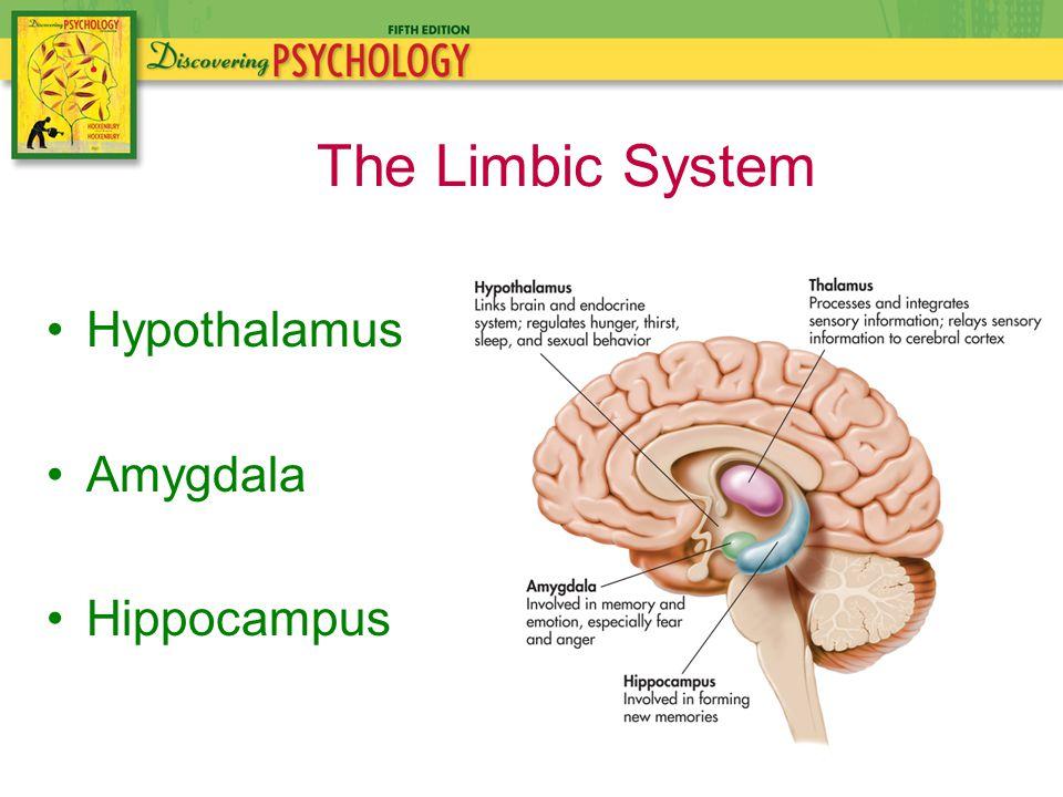 Hypothalamus Amygdala Hippocampus The Limbic System