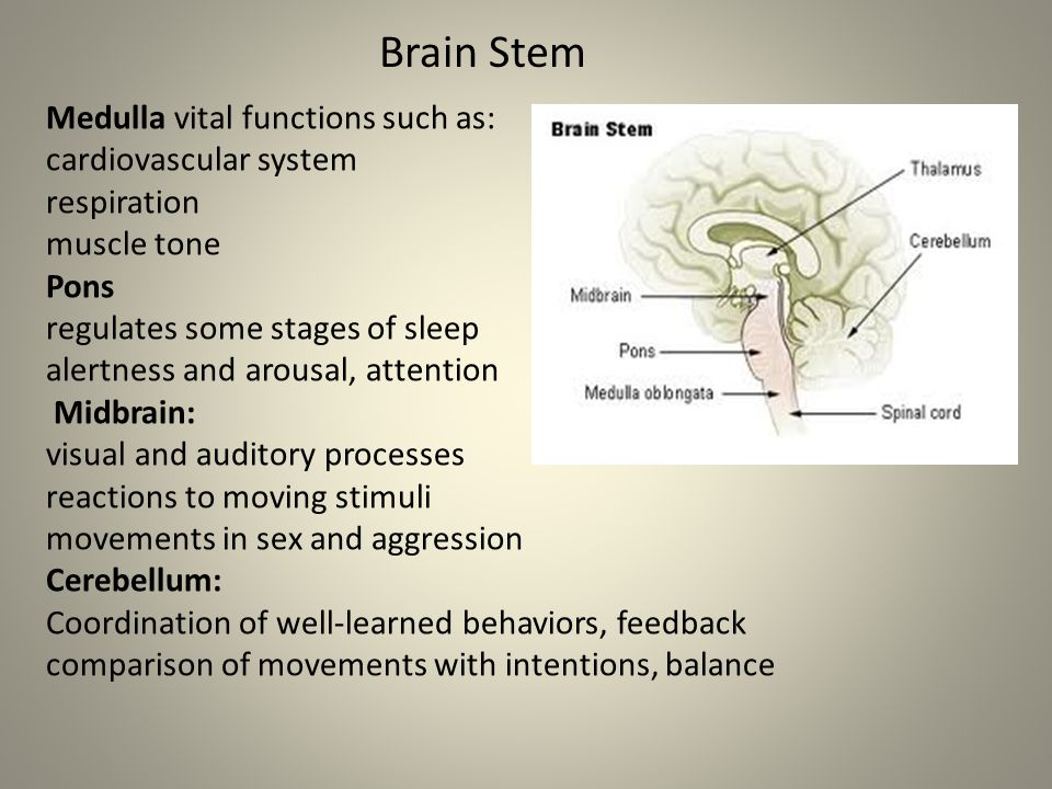 Medulla vital functions such as: cardiovascular system respiration muscle tone Pons regulates some stages of sleep alertness and arousal, attention Midbrain: visual and auditory processes reactions to moving stimuli movements in sex and aggression Cerebellum: Coordination of well-learned behaviors, feedback comparison of movements with intentions, balance Brain Stem