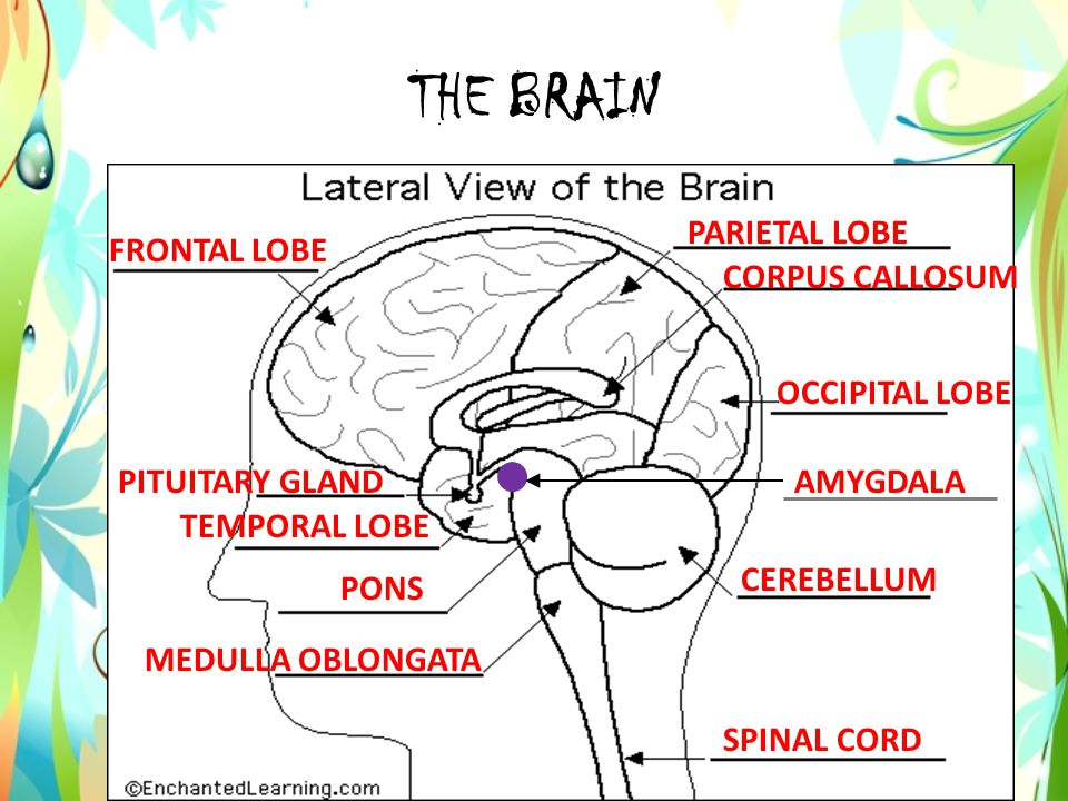 BRAIN FACT Your brain reaches its maximum size between ages 12-14, but its development is far from complete