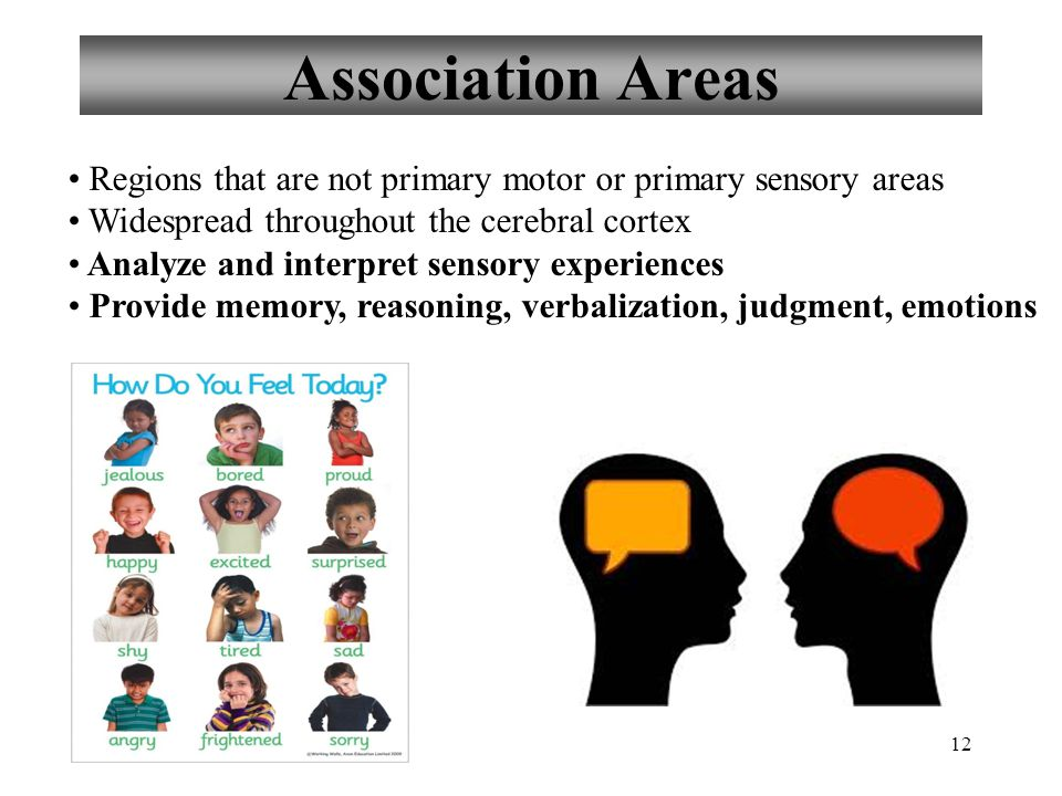 12 Association Areas Regions that are not primary motor or primary sensory areas Widespread throughout the cerebral cortex Analyze and interpret sensory experiences Provide memory, reasoning, verbalization, judgment, emotions