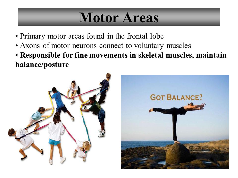 13 Motor Areas Primary motor areas found in the frontal lobe Axons of motor neurons connect to voluntary muscles Responsible for fine movements in skeletal muscles, maintain balance/posture